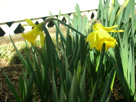 3/1/11 daffodils