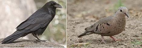 Raven Dove