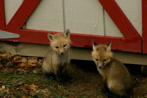 foxes 2
