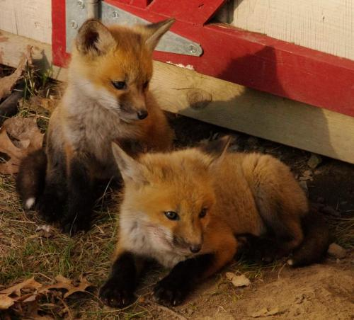 foxes 20