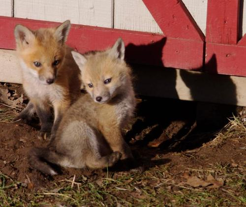foxes 9
