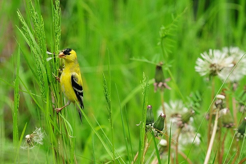 Goldfinches love dandelion seeds