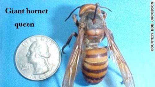 Giant hornet queen