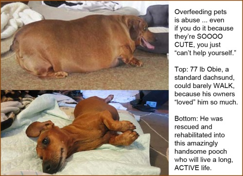Obie the Obese Dachsund