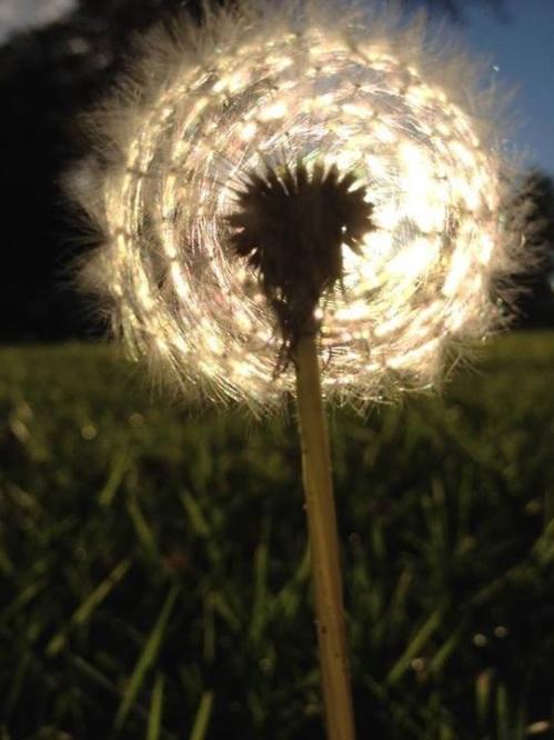 dandelion in sun
