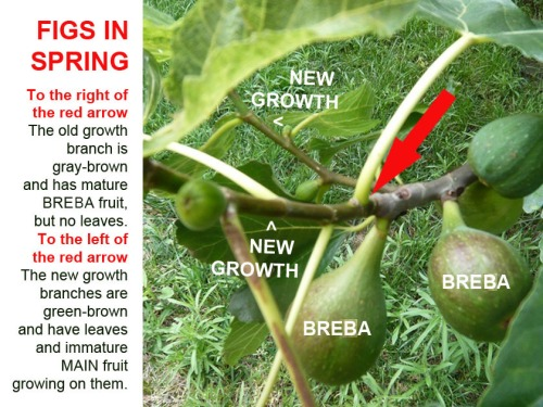 FIGS branch becomes tender and sprouts leaves
