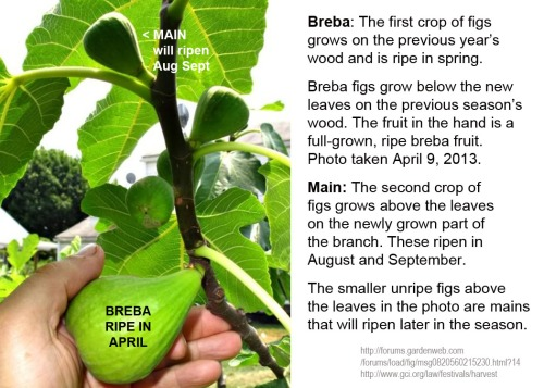 FIGS Breba and Main fruits