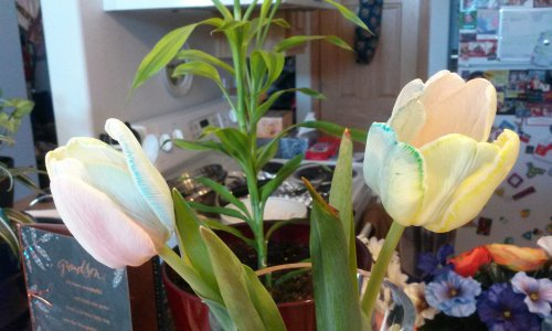 2014_03 08 L split white tulip stems, put in colored water