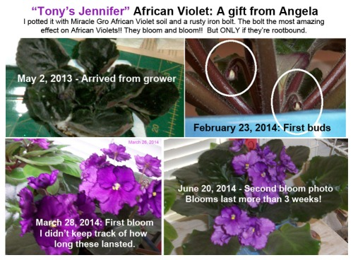 2014_07 11 My Tony's Jennifer Afr Violet composite