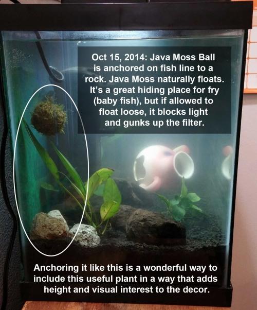 2014_10 15 Java Moss ball