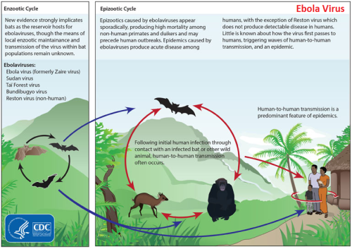 Ebola Epizootic Cycle - CDC