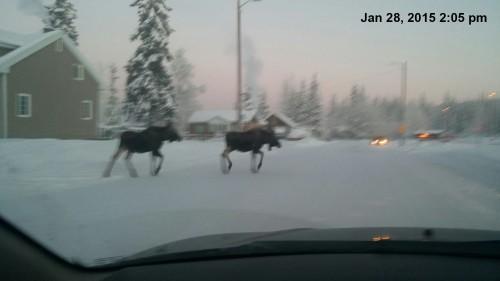 2015_01 28 Moose crossing