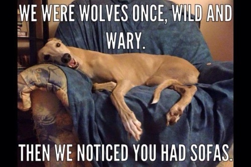 DOGS wolves to sofas