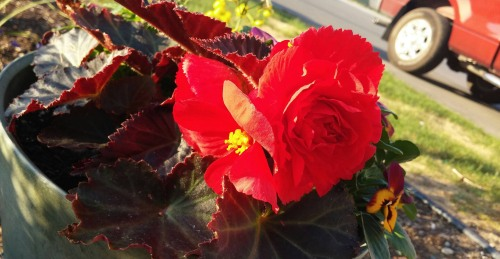 2015_05 29 Begonias male and female