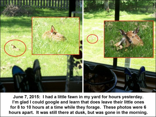 2015_06 07 Fawn in the back yard