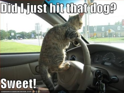 funny_pictures_driving_cat_hits_dog9-s485x364-49244