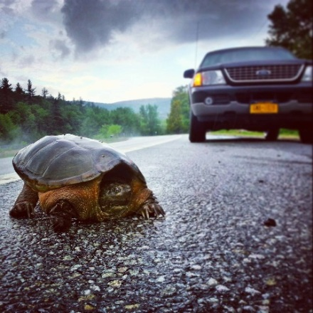 2015_05 Turtle on road by Heather