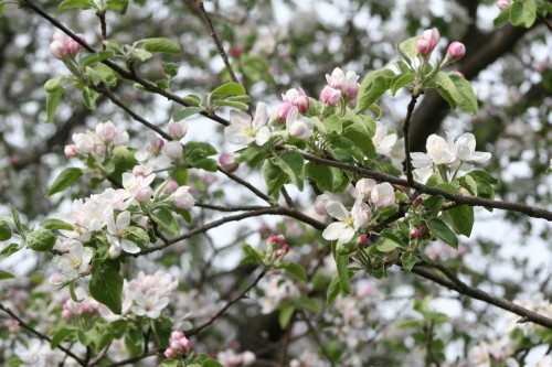 Apple tree in bloom by KBC NICE
