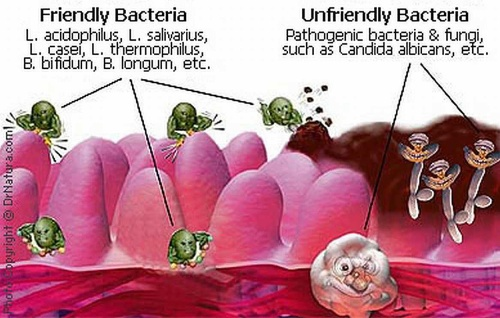 Gut friendly vs unfriendly bacteria