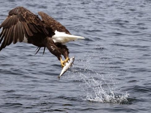 2018_06 21 Eagle seizing fish