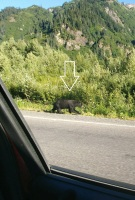 2018_08 04 BC bear by Bear Glacier cropped