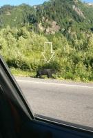 2018_08 04 BC bear by Bear Glacier cropped