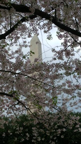 2019_04 07 Wa Mon w cherry blossoms