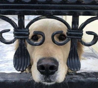 DOG Golden in glasses