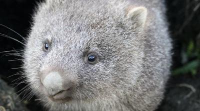 2020_01 18 wombat