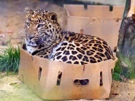 CAT Leopard in box