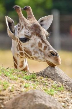 2020_03 24 Giraffe Willow Baltimore zoo