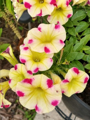 2020_06 19 yellow pink petunias by L
